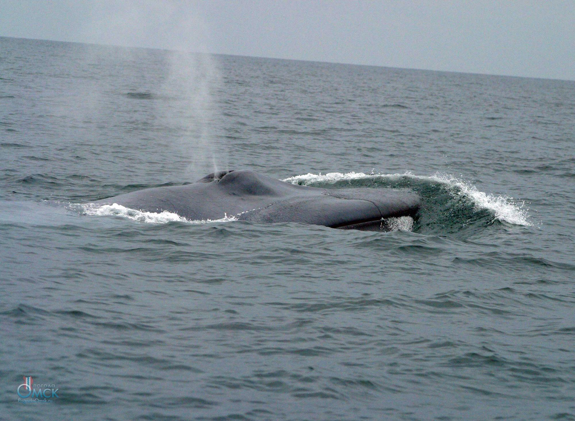 Синий кит выдыхает фонтан пара и брызг