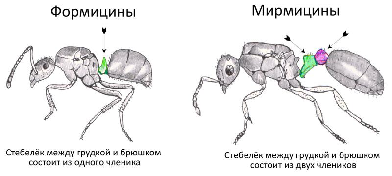 Мирмицины и формицины