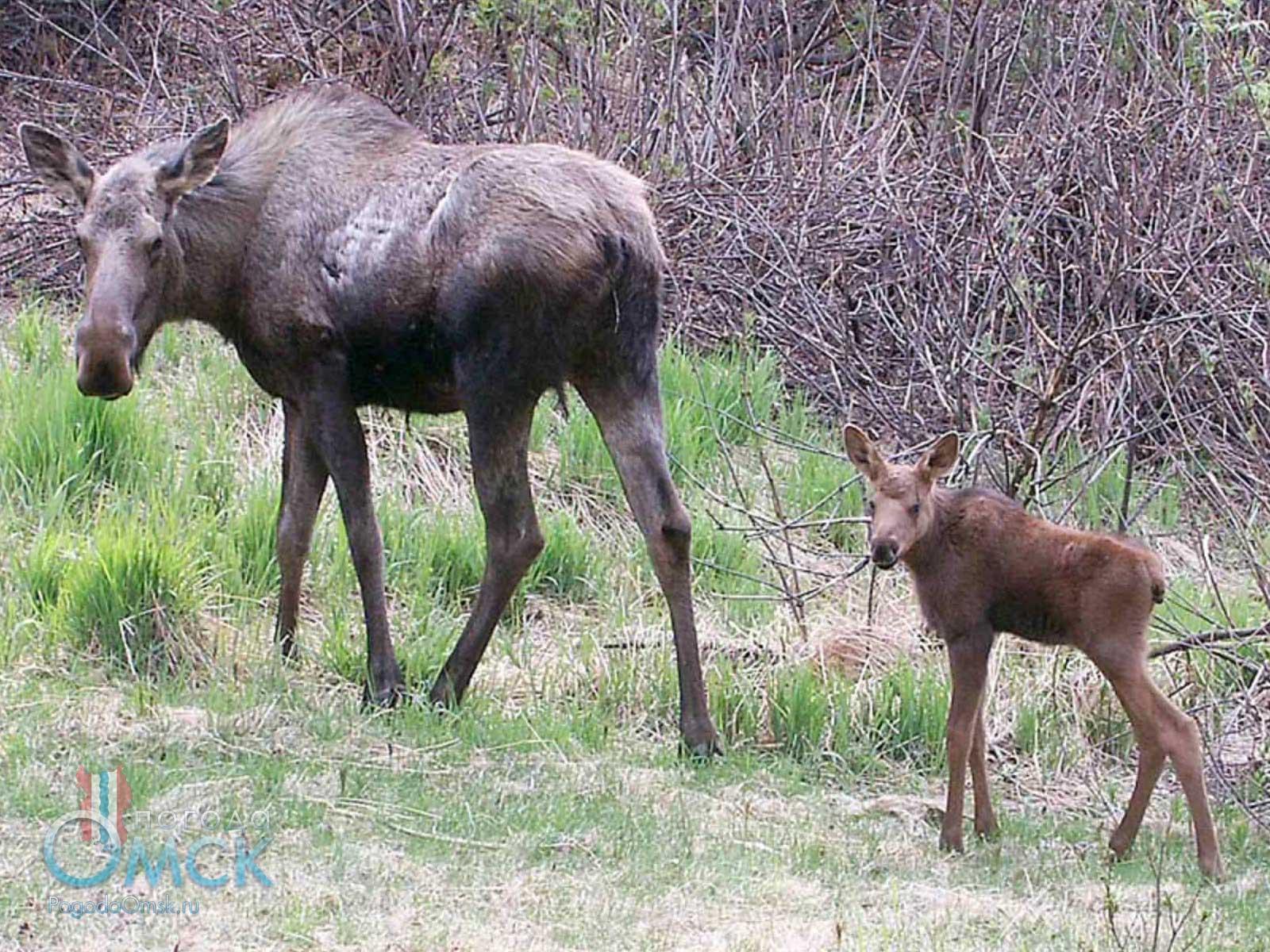 Самка лося с детёнышем