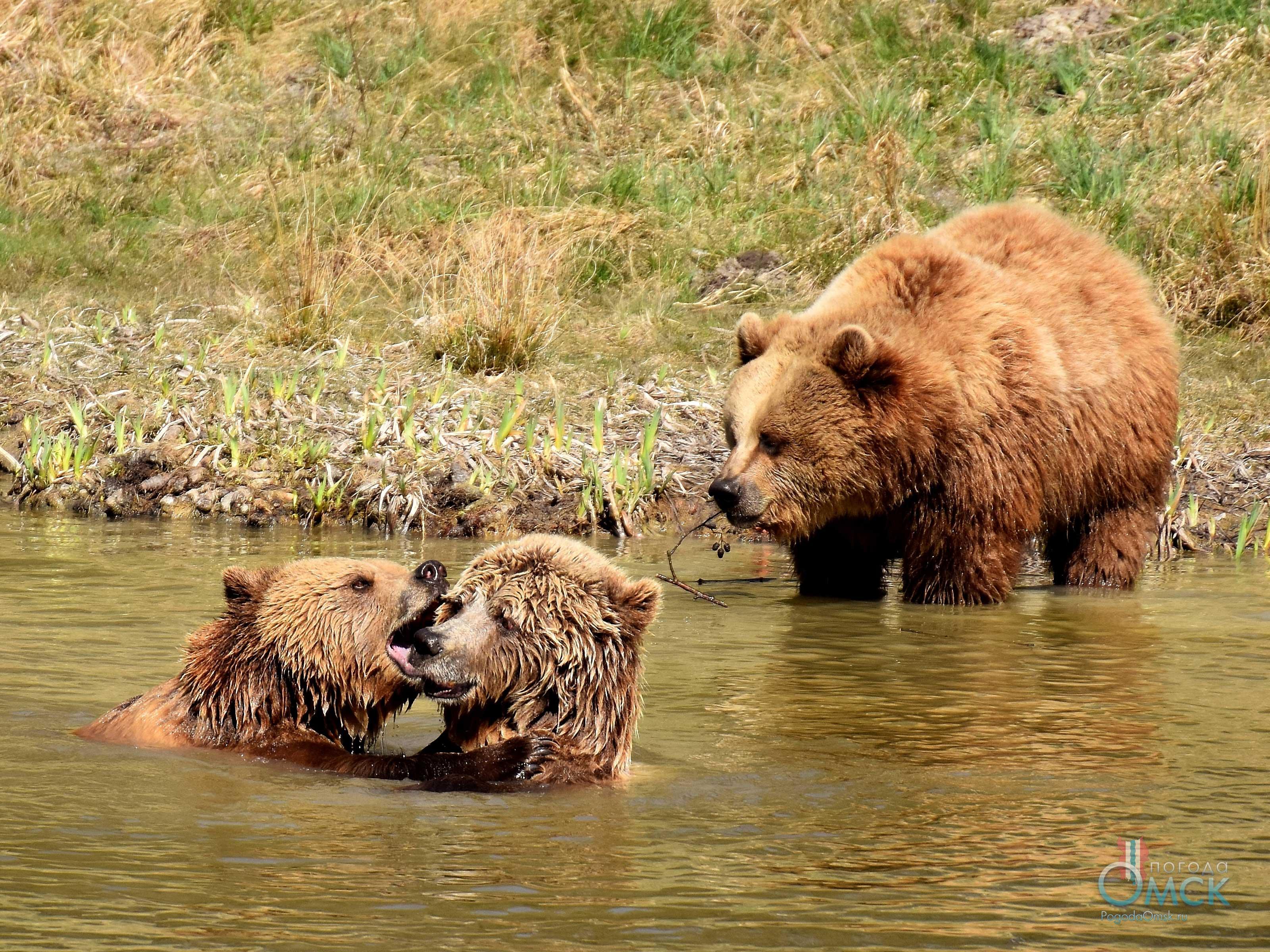 Бурые медведи играют в реке