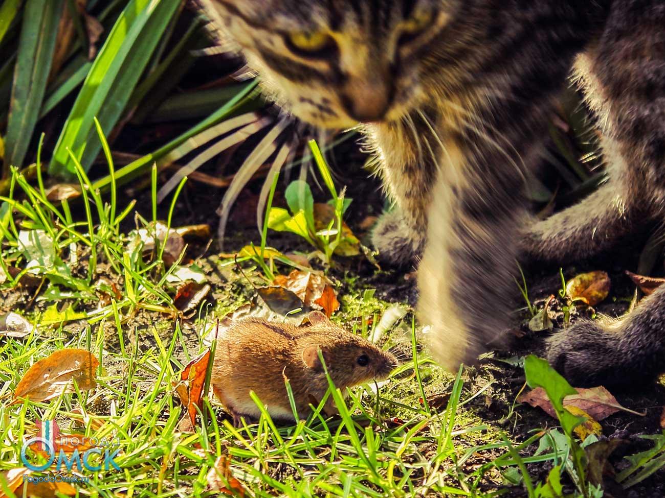 Полевая мышь и кошка