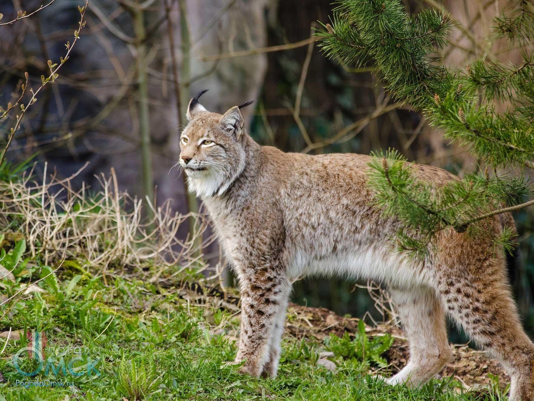 Рысь - хищное млекопитающее семейства кошачьих