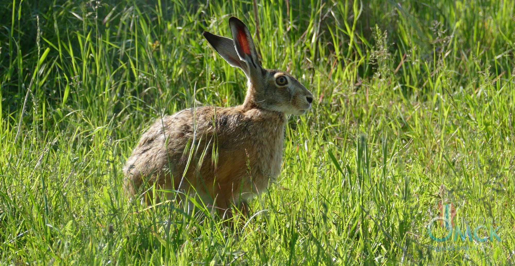Заяц-русак