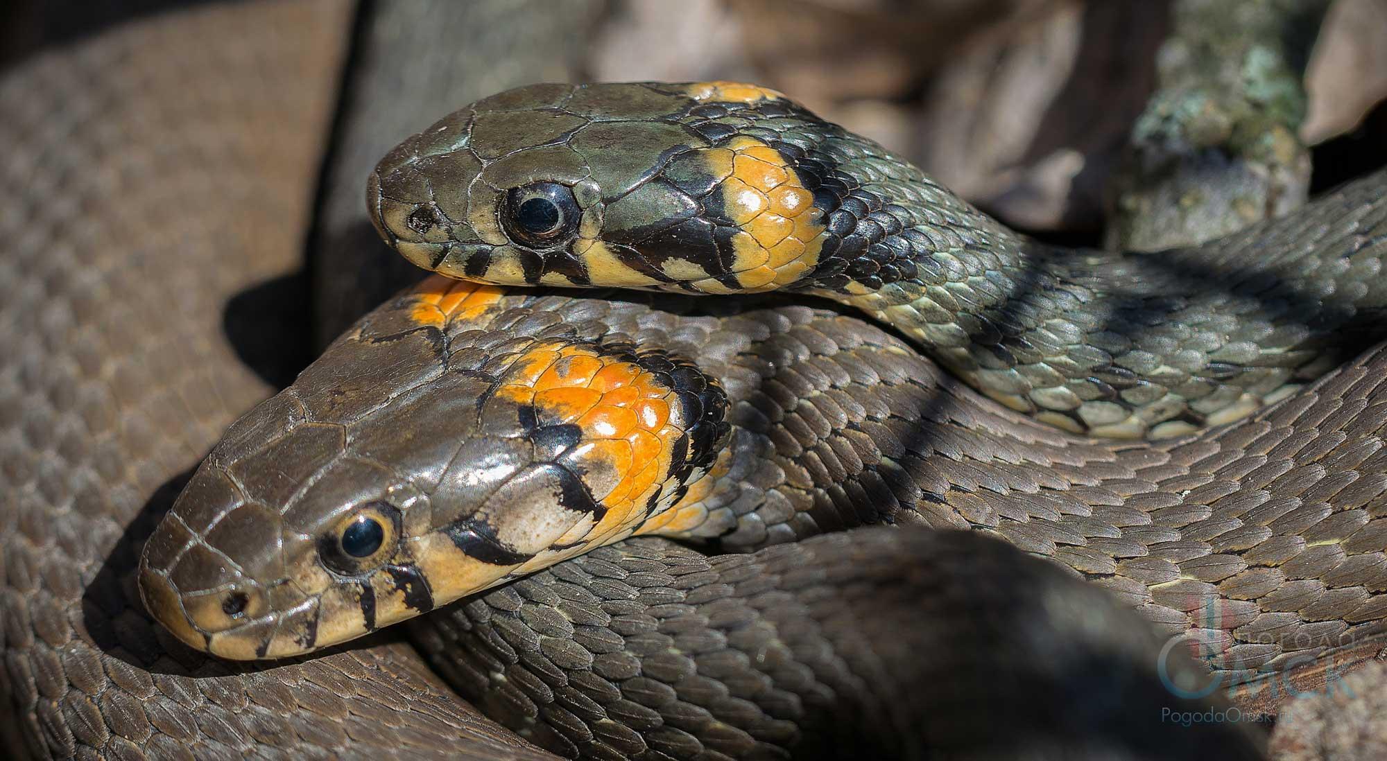 Змея уж