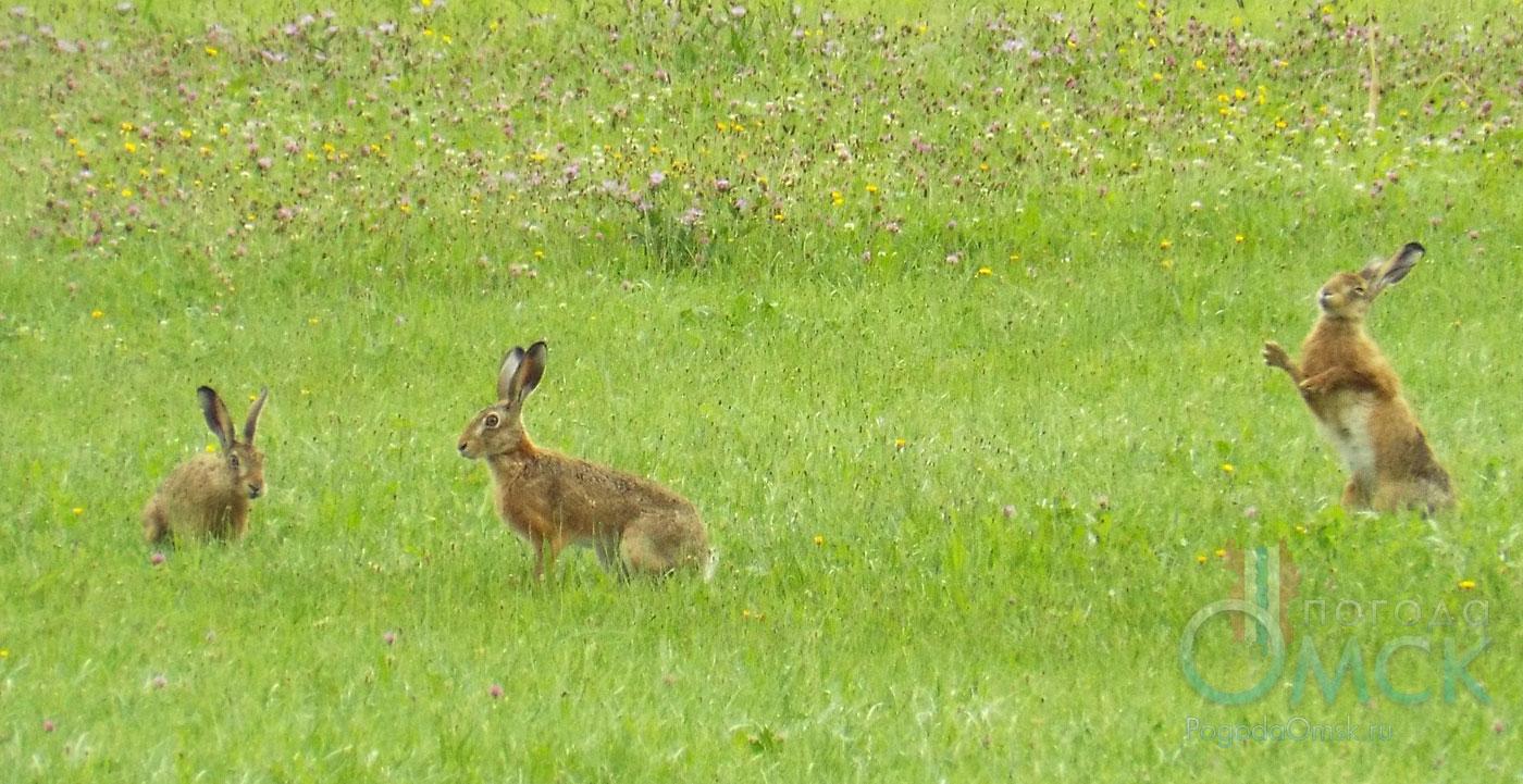 Зайцы-русаки