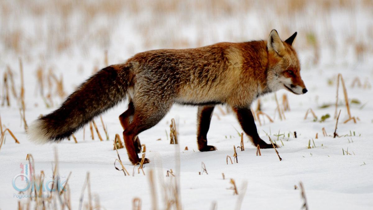 Лисица в заснеженной степи