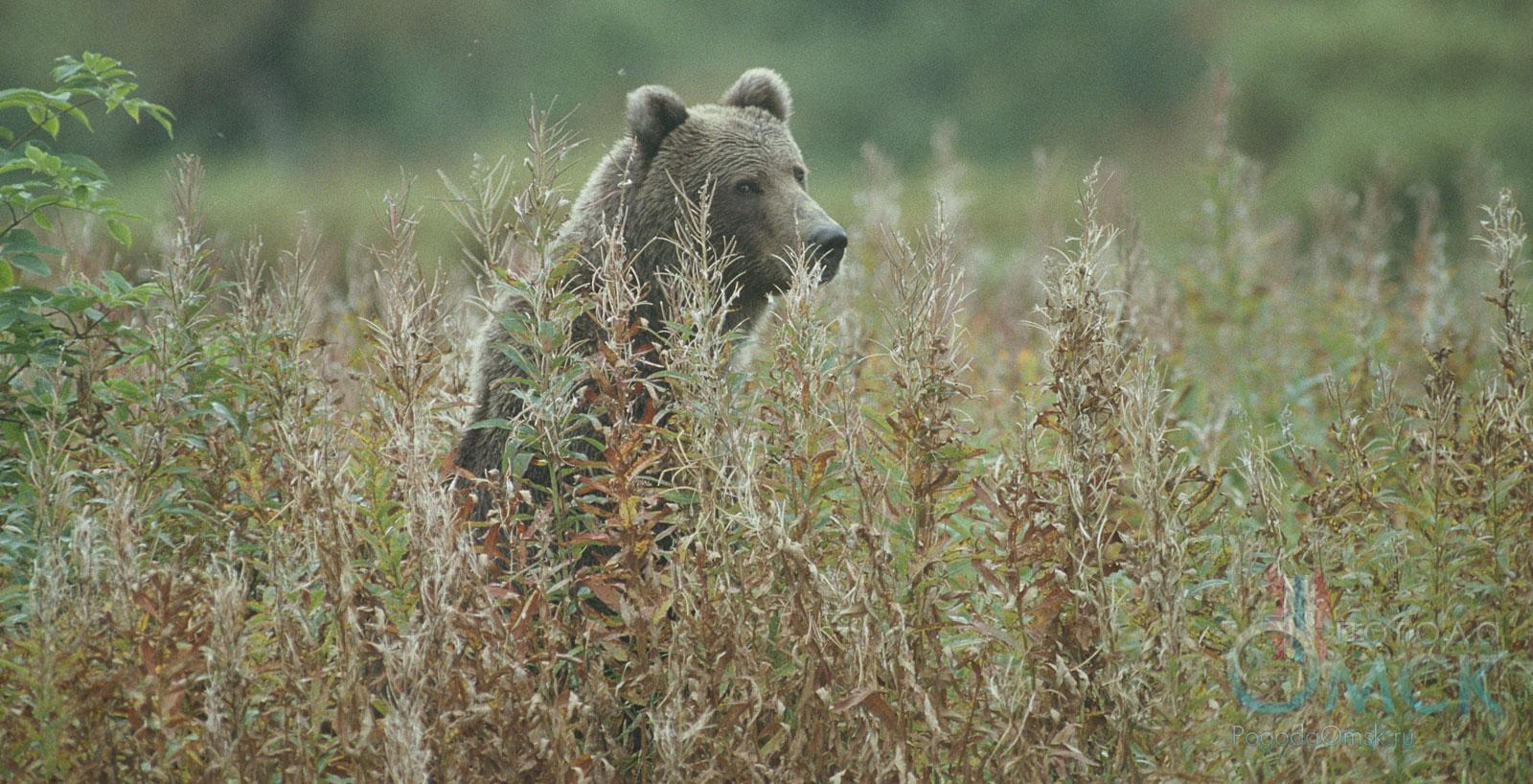 Медведь в высокотравье