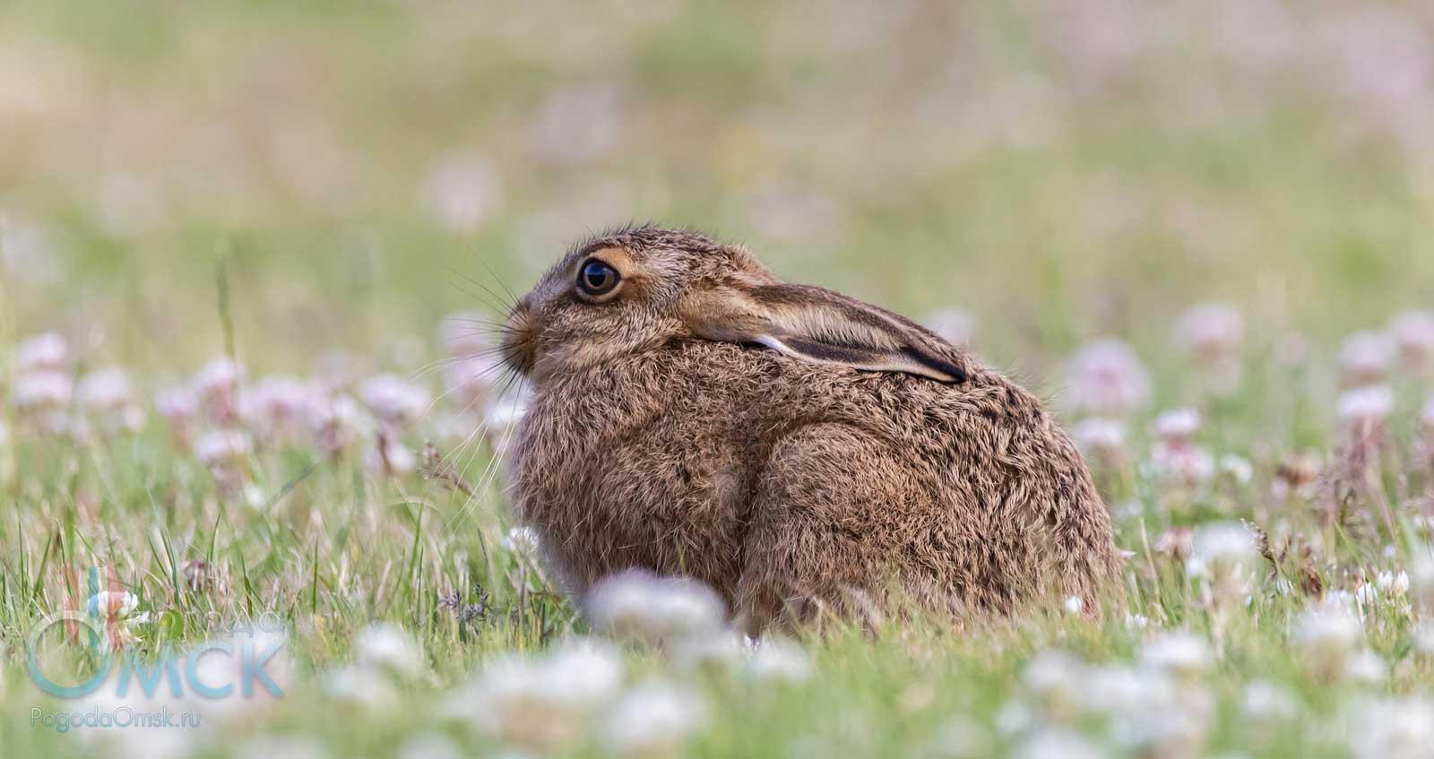 Заяц-русак на лугу
