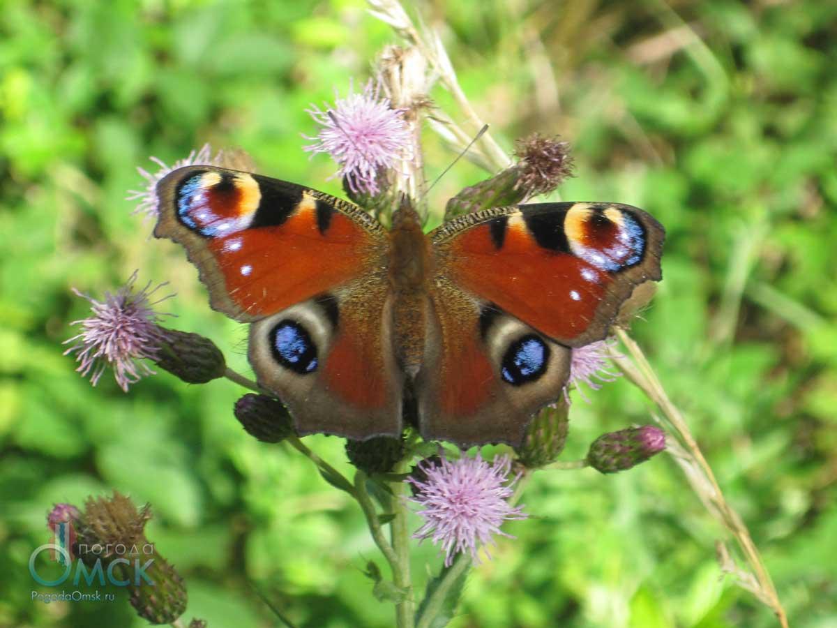 Павлиний глаз (бабочка)