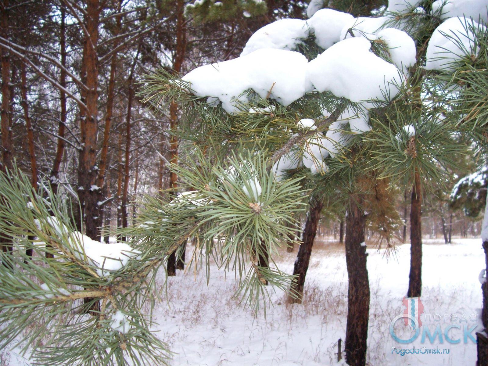 Снег на ветках сосны