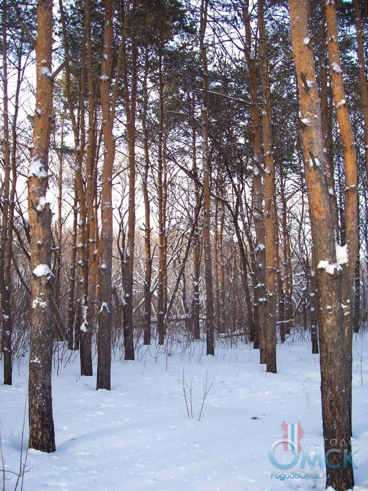 Сосны в зимнем лесу