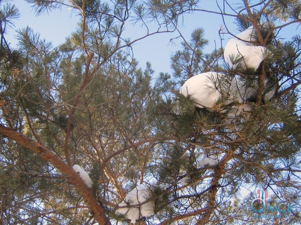 Последний снег на ветвях сосны