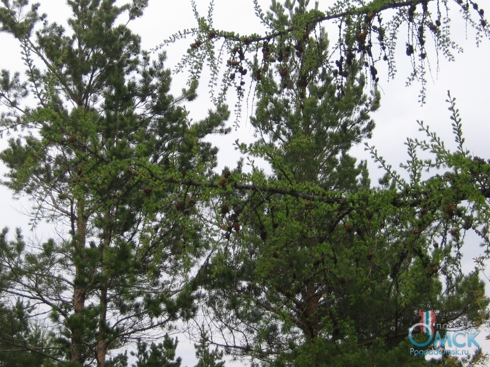 Зелёная хвоя лиственницы