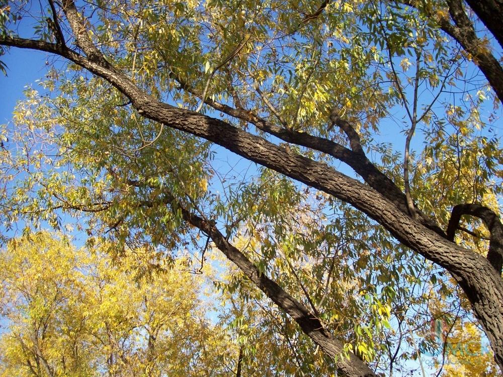 Листья ивы начинают желтеть