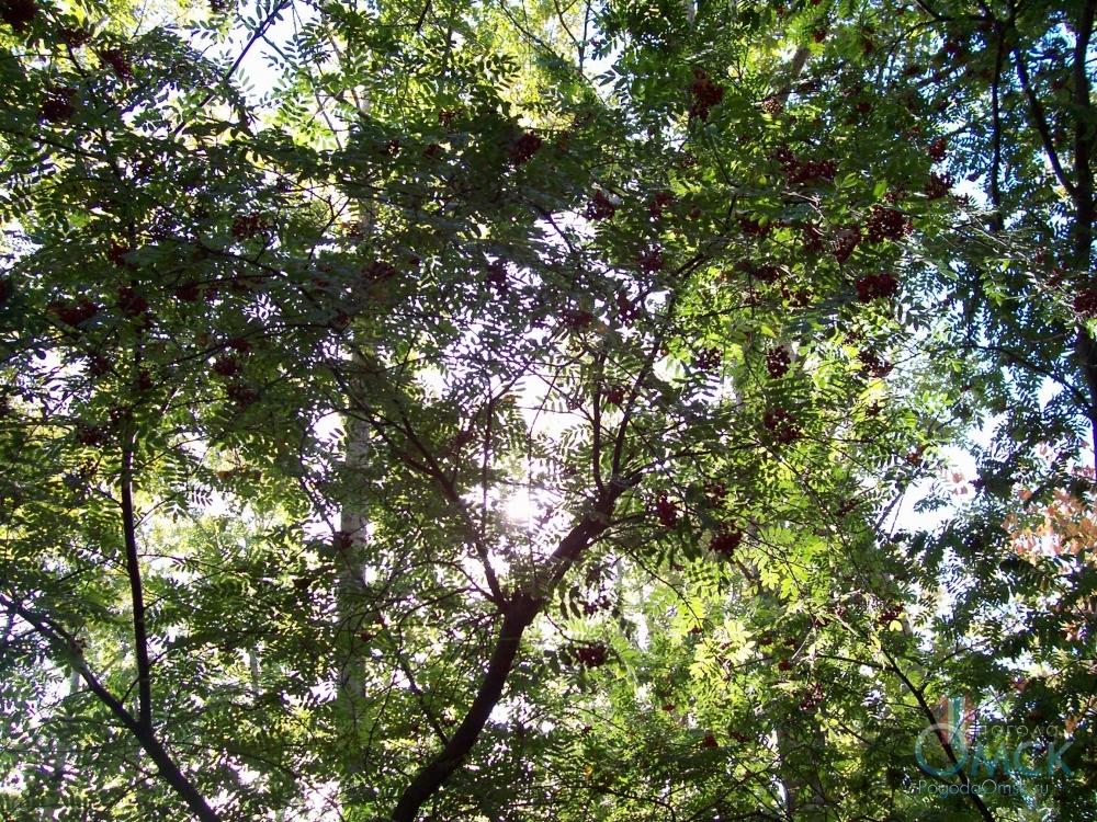 Ветви рябины
