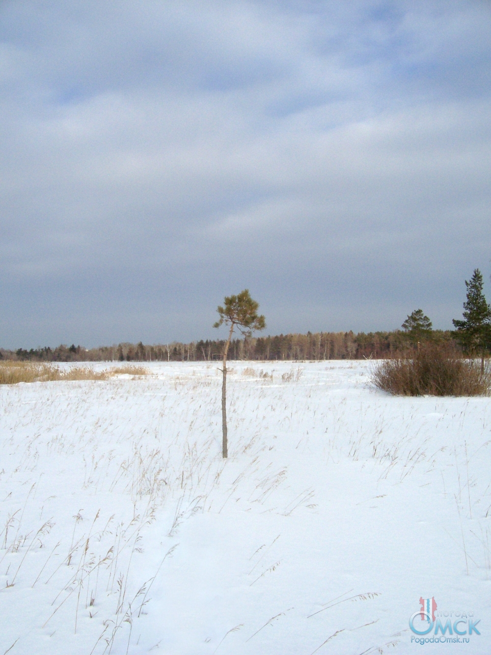 Маленькая сосна, занесенная снегом