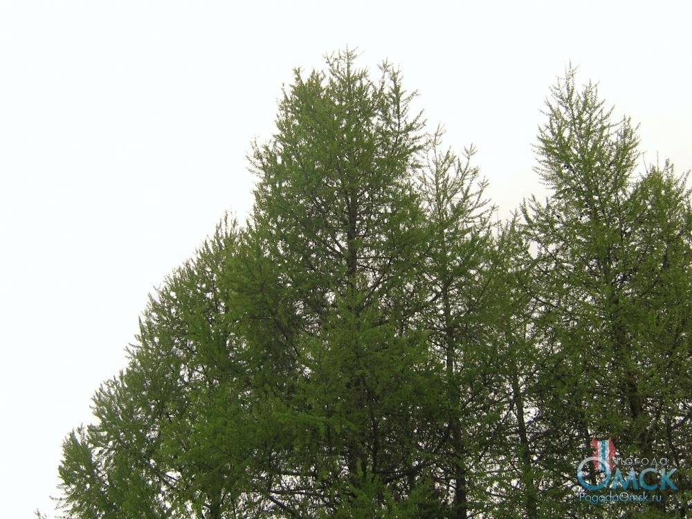 На лиственнице отрастает молодая хвоя