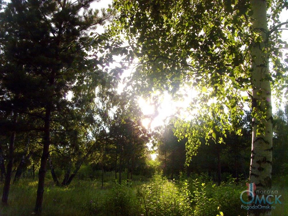 Солнце в листве березы