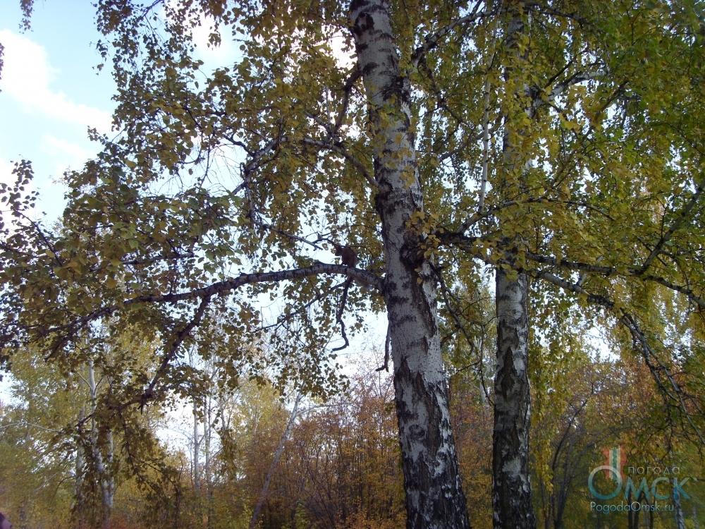 С берез начинает опадать листва