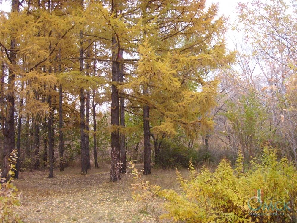 Хвоя лиственницы желтеет