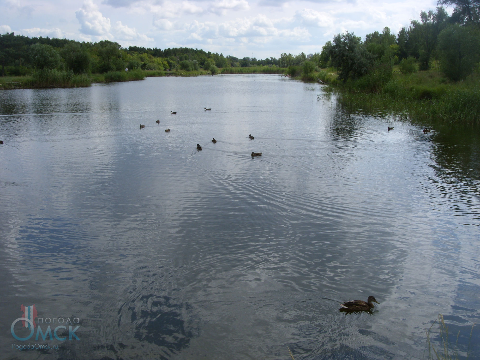 Кряквы в пруду