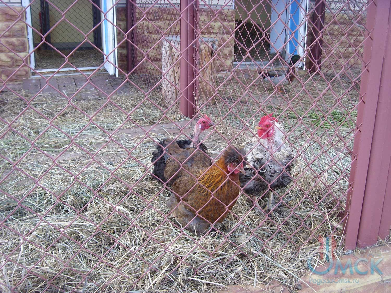 Курчавые куры