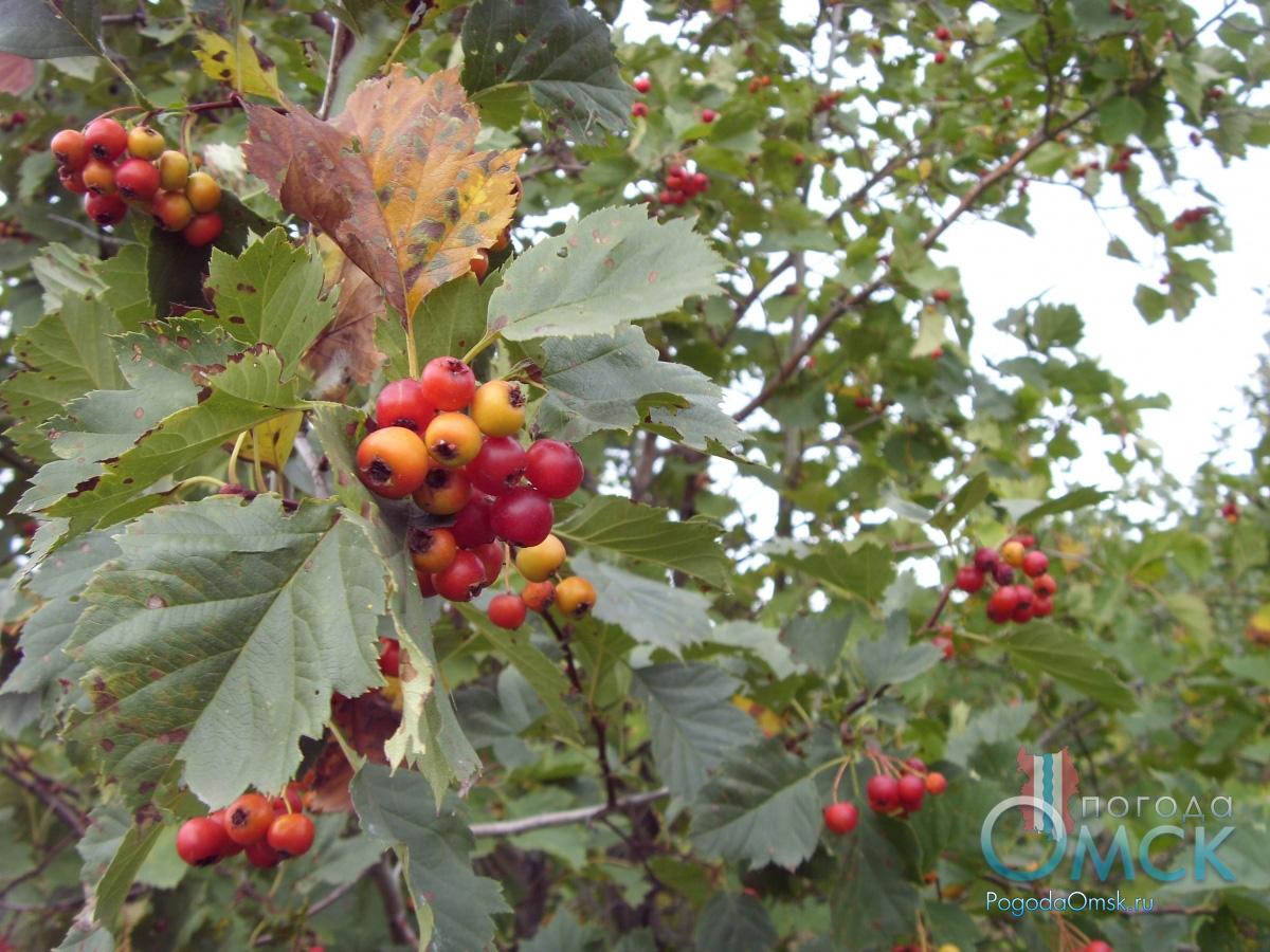 Плоды и лисья боярышника