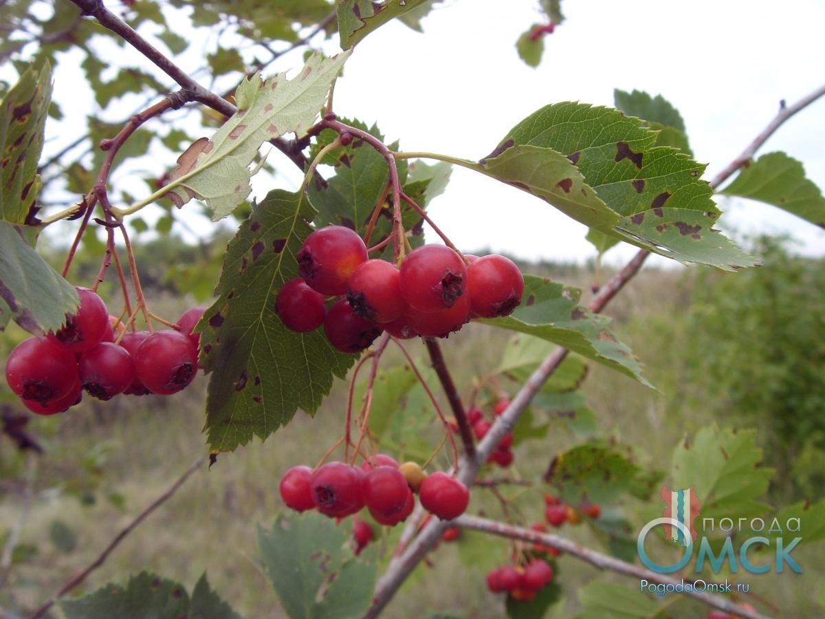 Зрелые плоды боярышника
