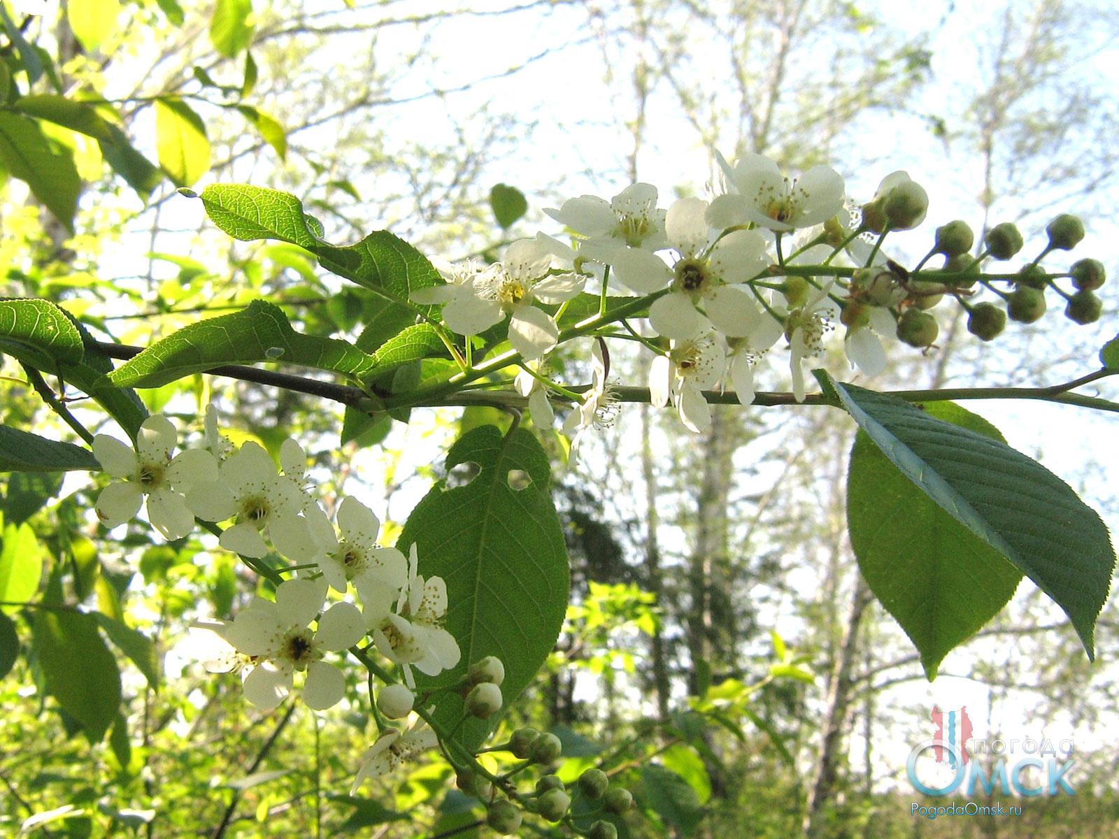 Соцветие черёмухи обыкновенной