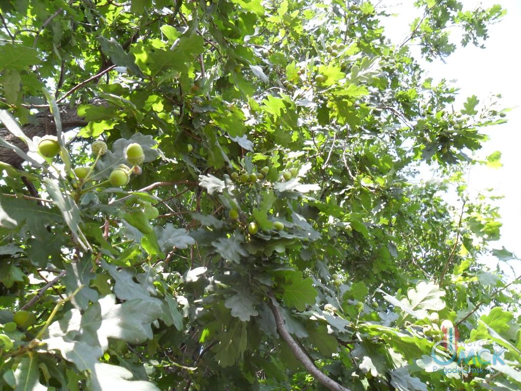 Листва и плоды дуба
