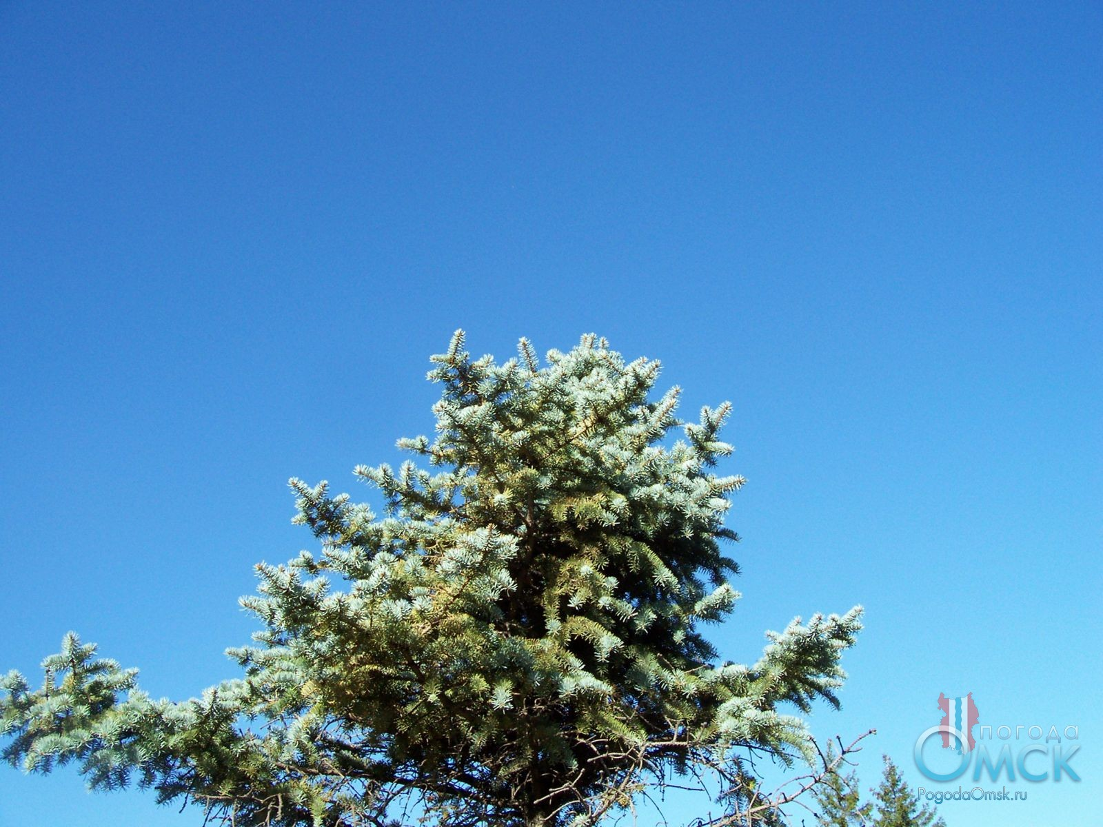 Верхушка голубой ели
