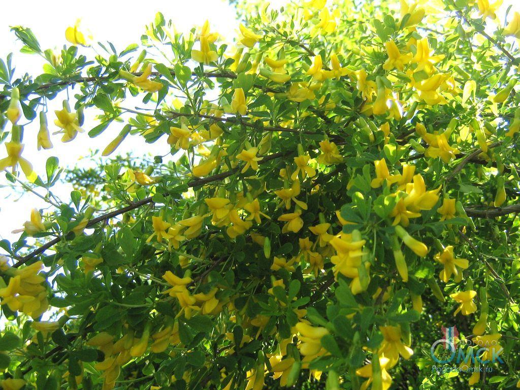 Цветение караганы