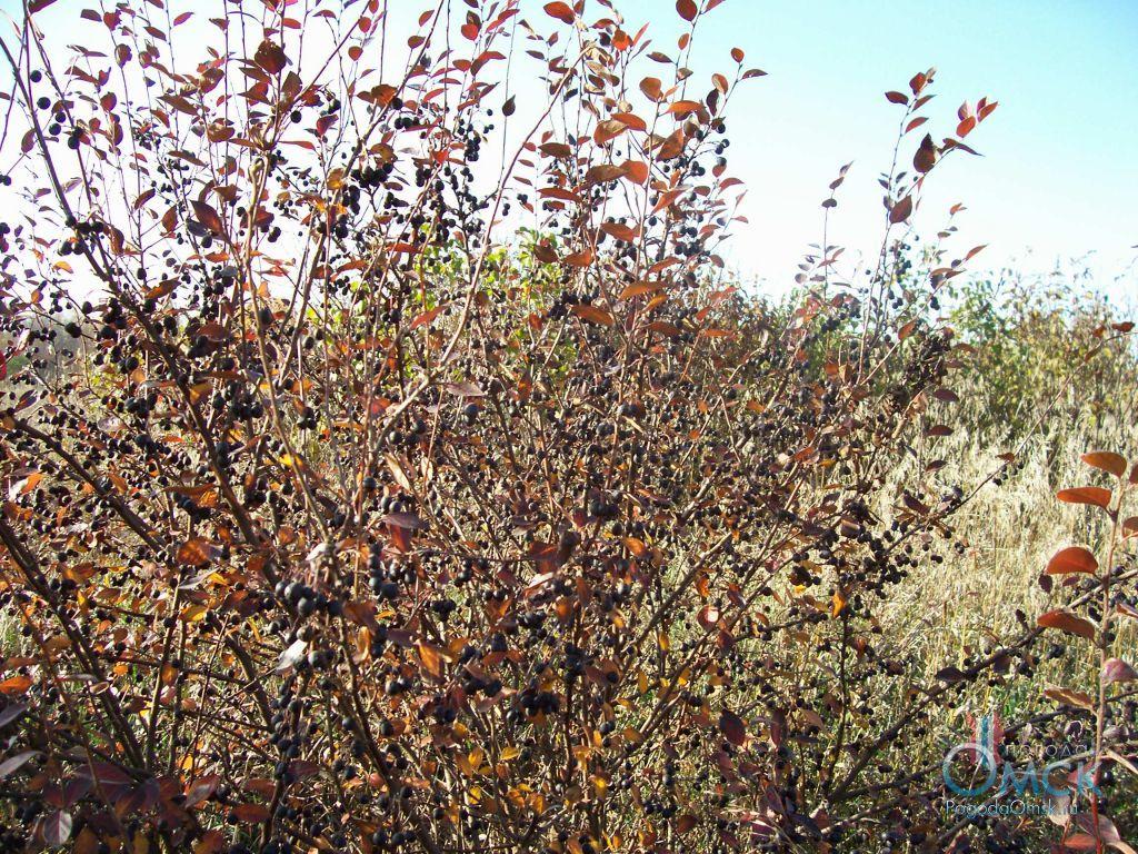 Кизильник черноплодный
