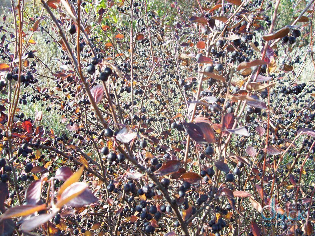 Кизильник черноплодный осенью