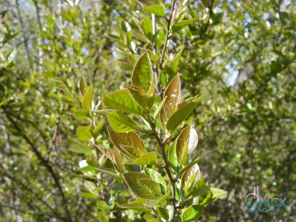 Листья кизильника