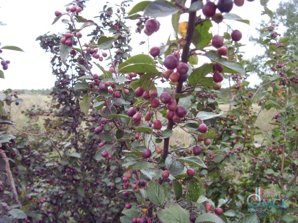 Плоды кизильника черноплодного
