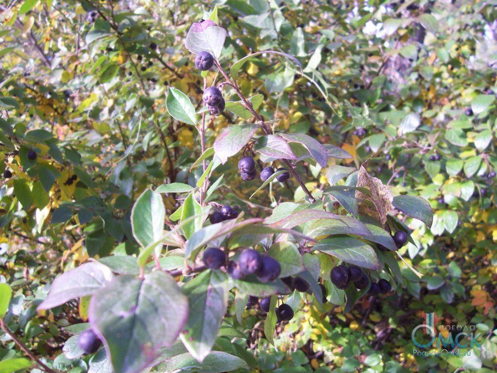 Не зрелые плоды кизильника