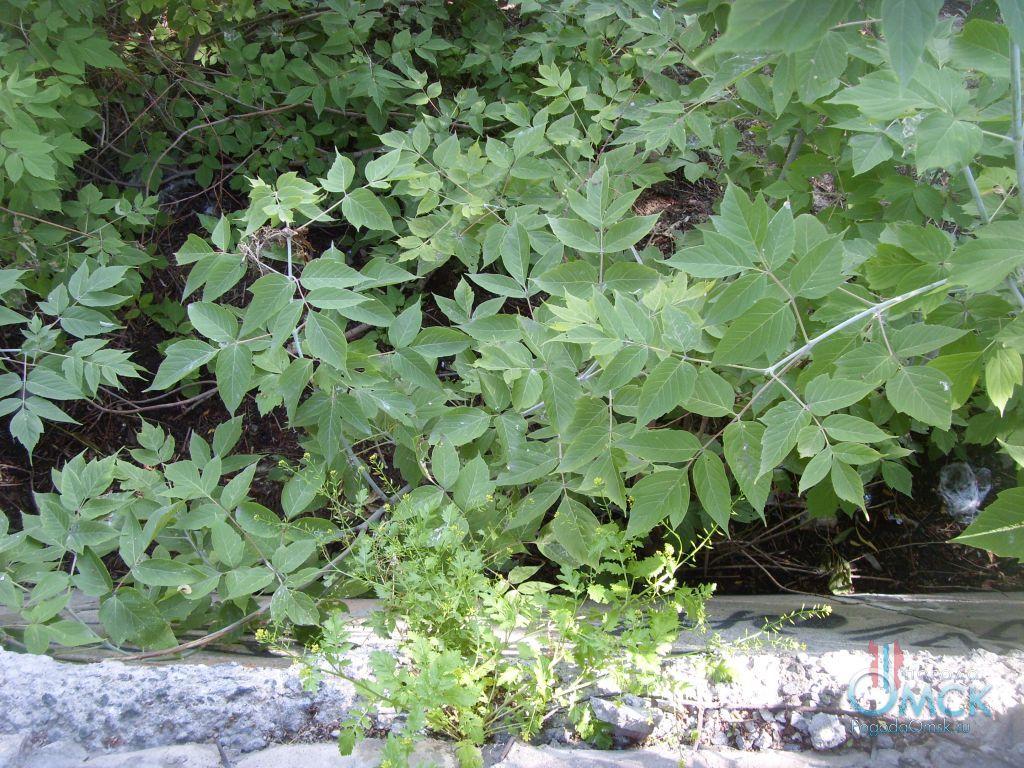 Листья клёна ясенелистного