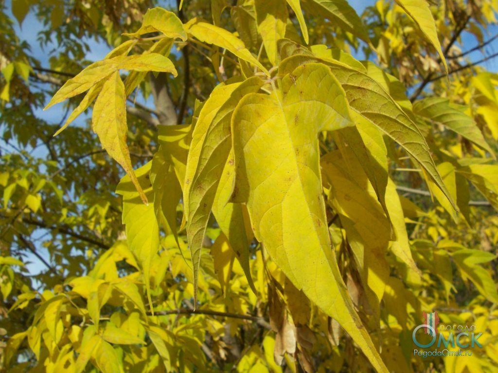 Листья клёна ясенелистного осенью