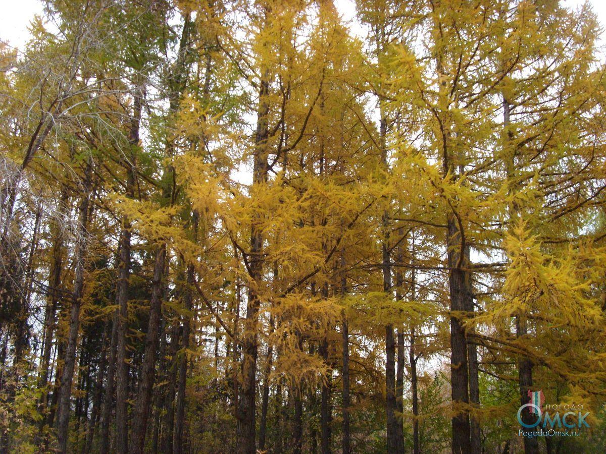 Лиственница сибирская осенью