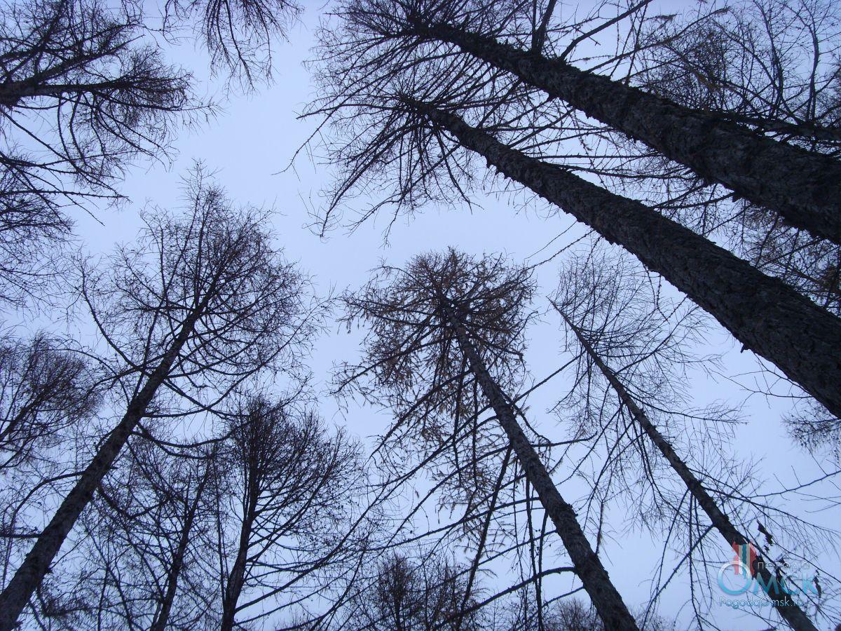 Лиственница сибирская зимой