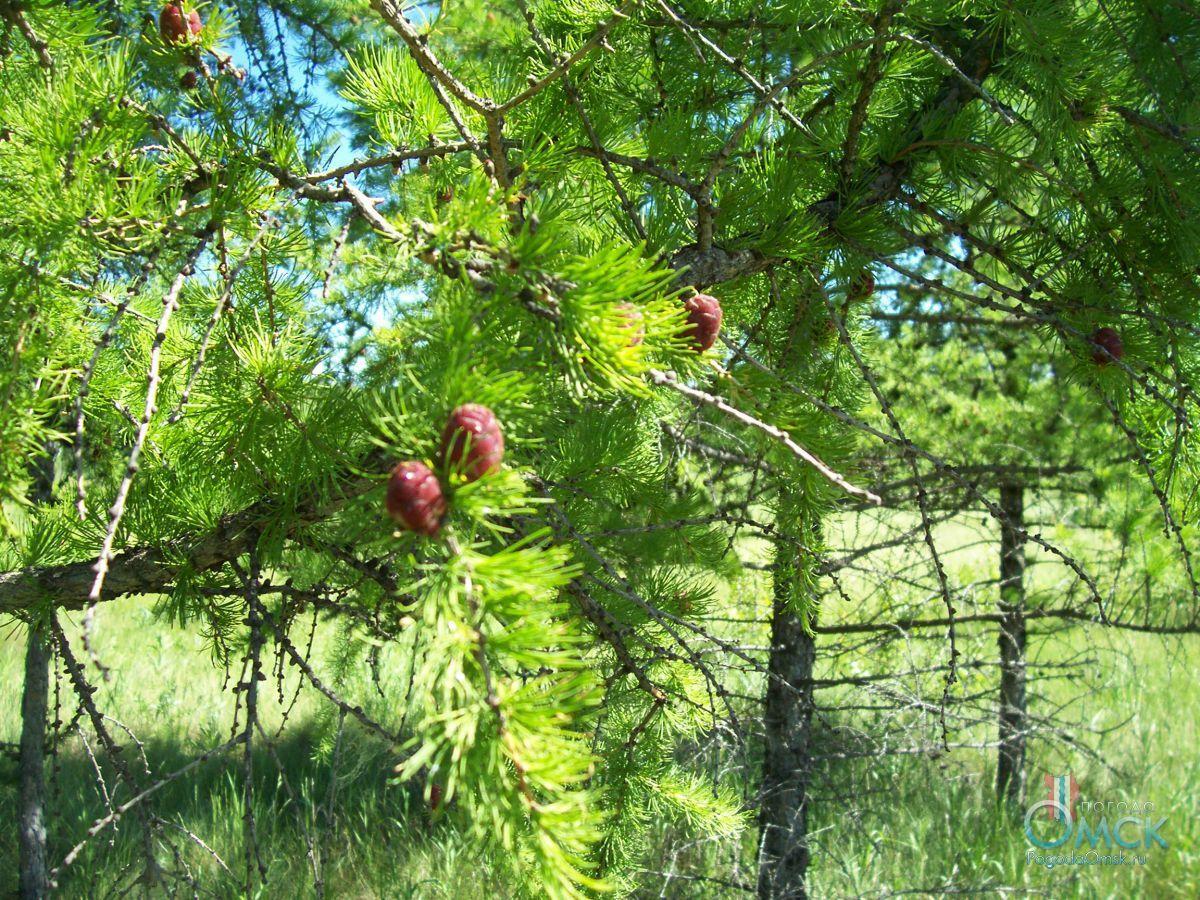 Шишки и хвоя сибирской лиственницы