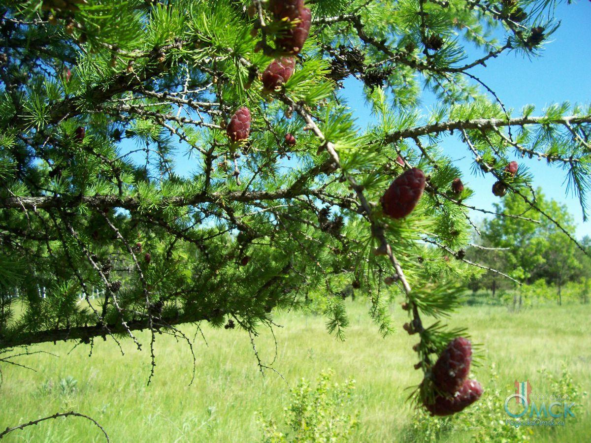 Шишки сибирской лиственницы весной