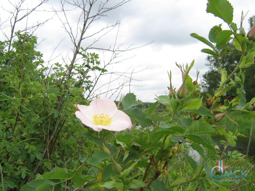 Цветок шиповника майского