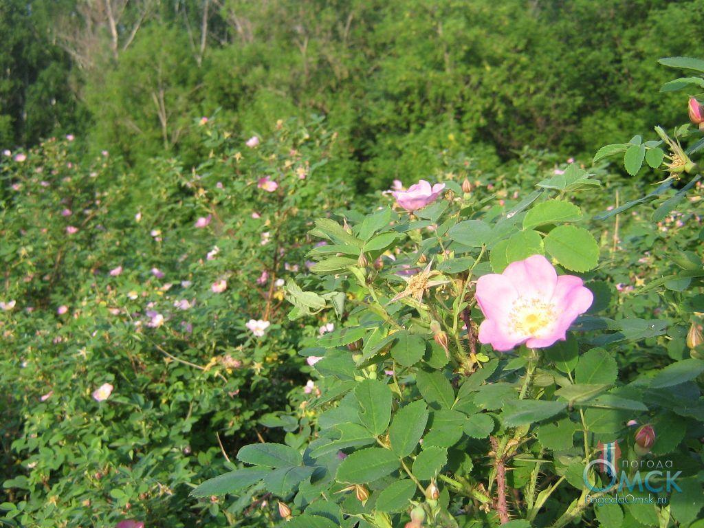 Кусты шиповника майского