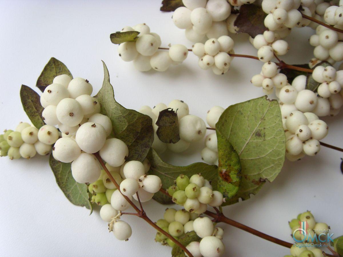 Плоды снежноягодника белого
