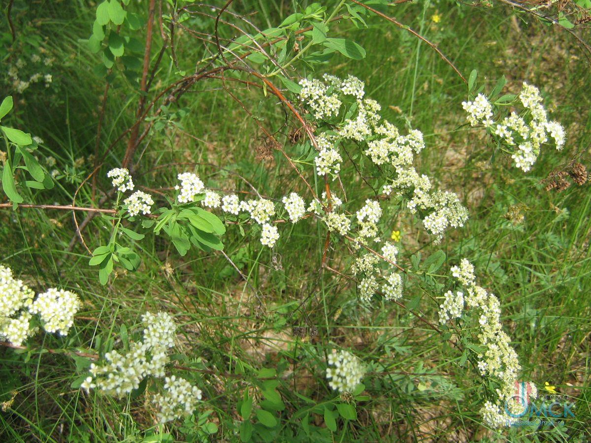 Спирея цветёт с начала июня по июль