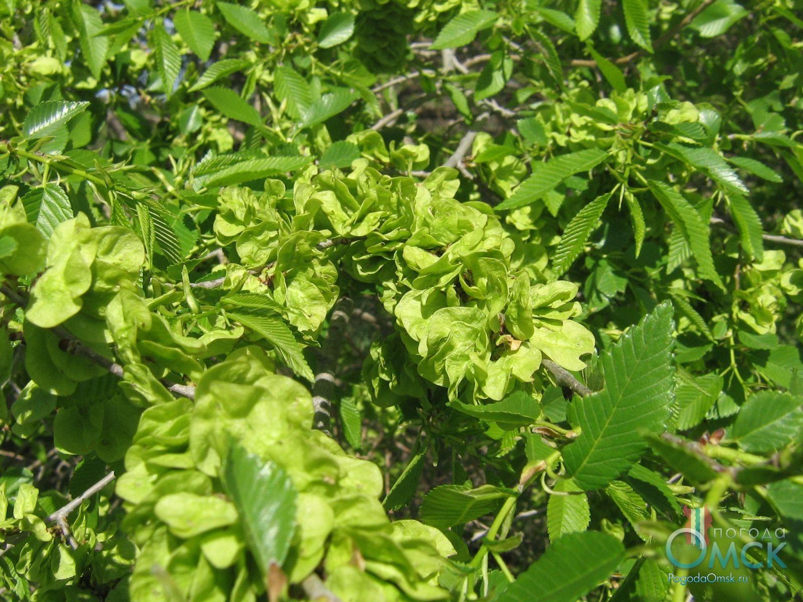 Плоды вяза мелколистного (карагач)