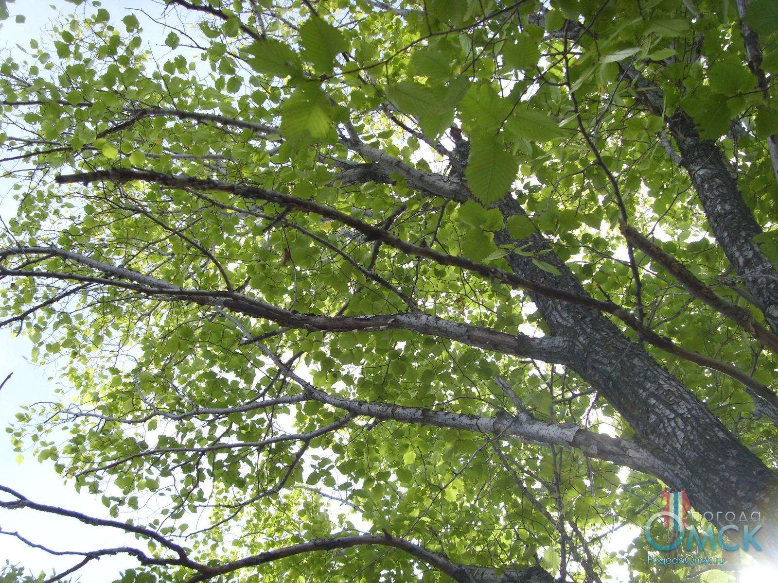 Ветви вязя