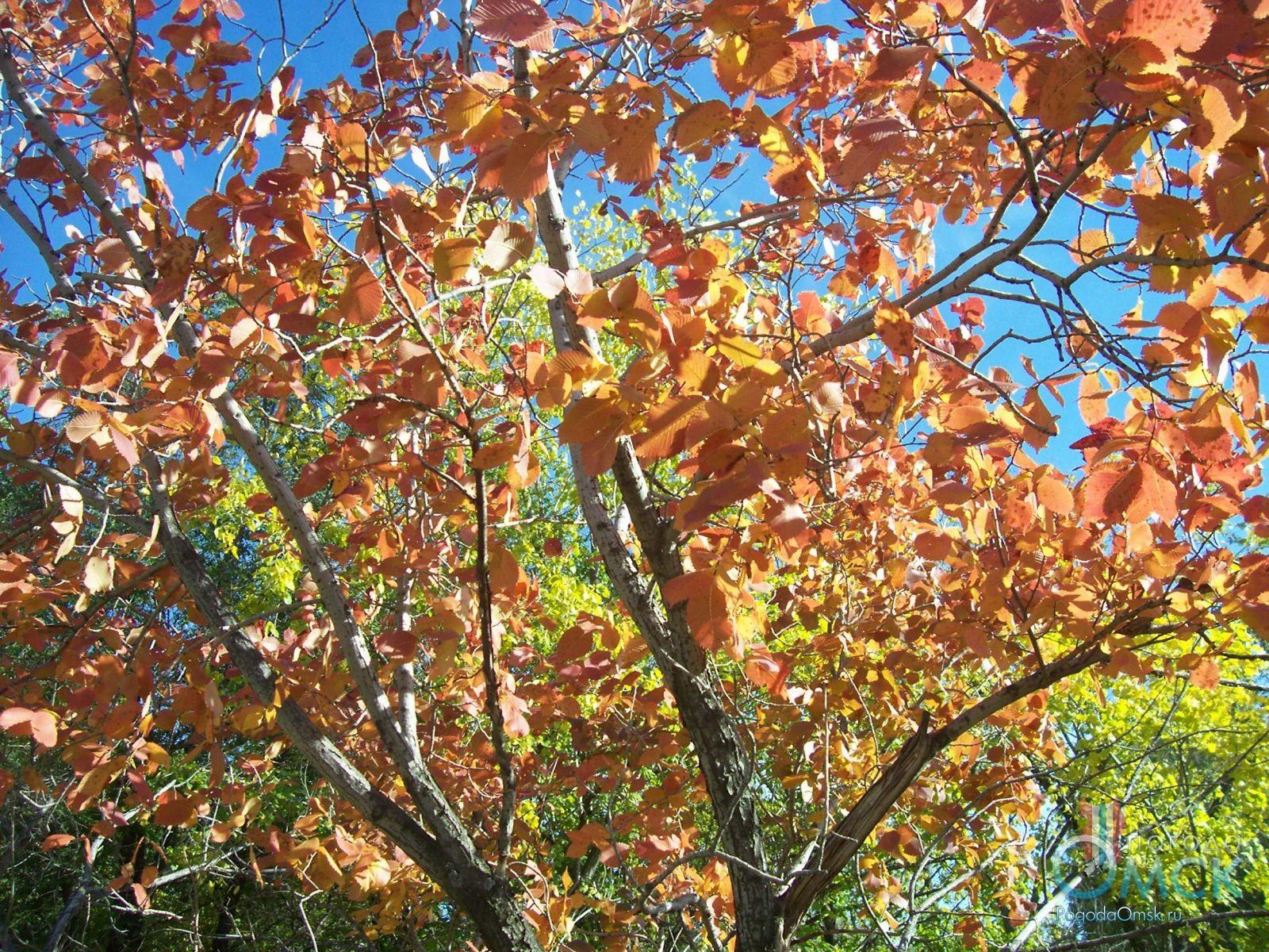 Вяз осенью